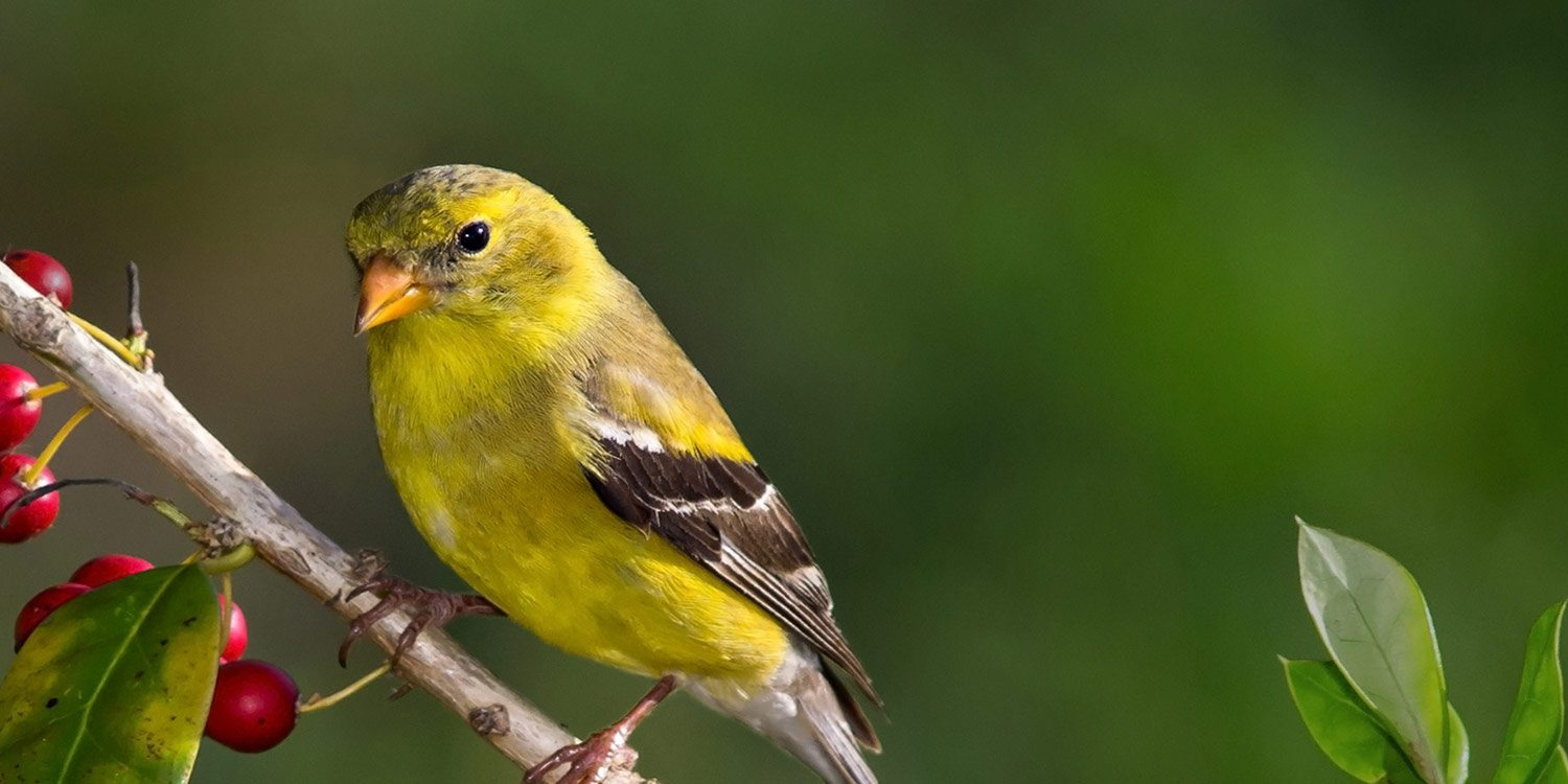 gold_finch_2