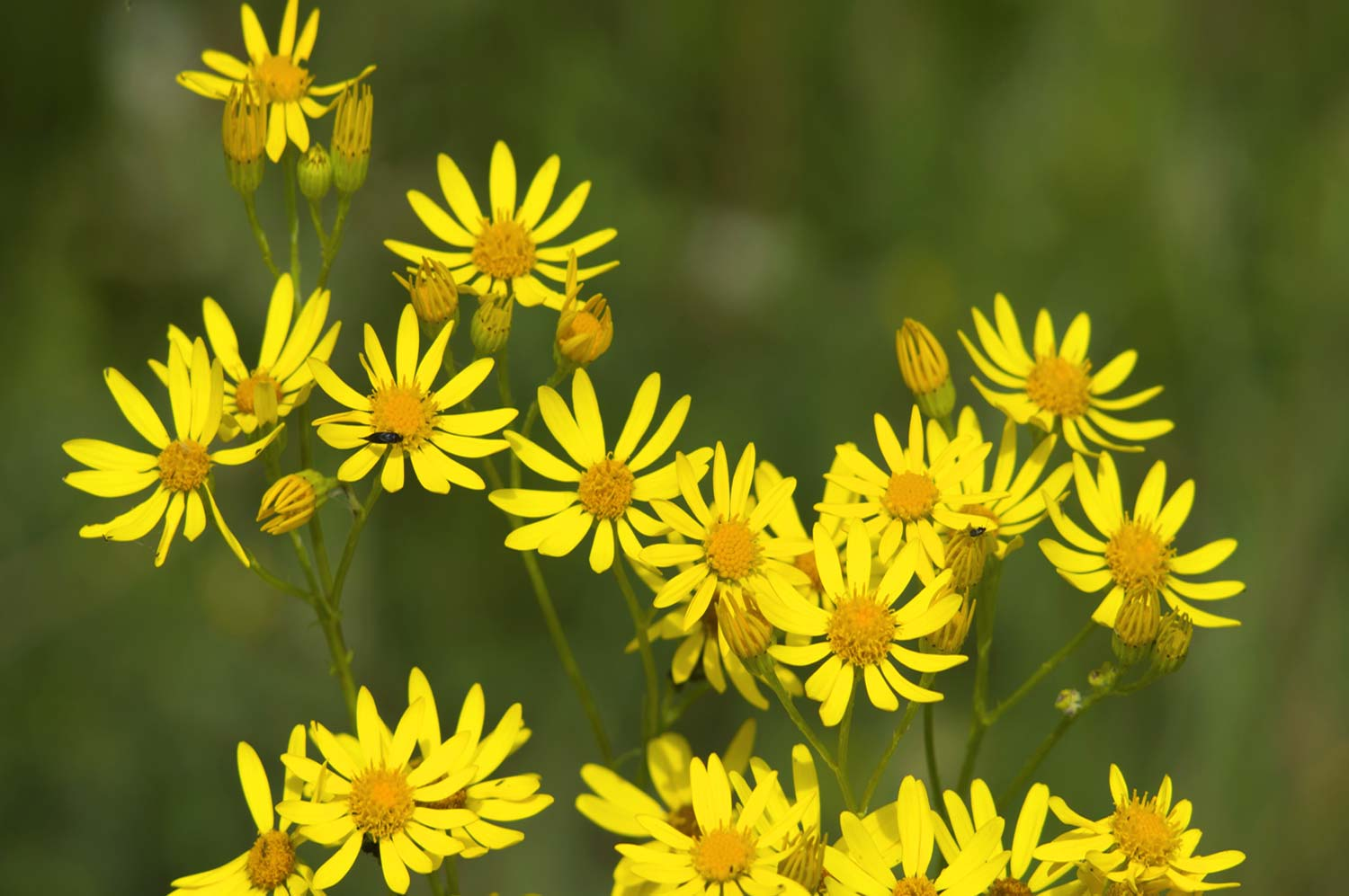 golden-ragwort-2