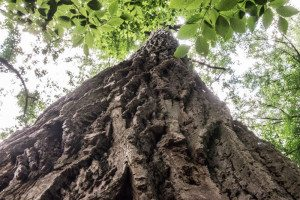 Looking up at a Tulip Poplar.  Photo taken and Provided by Sandra Loprete Photography