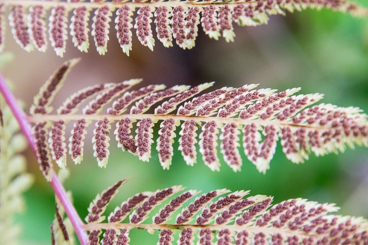 Fern with seeds.  Photo taken and Provided by Sandra Loprete Photography